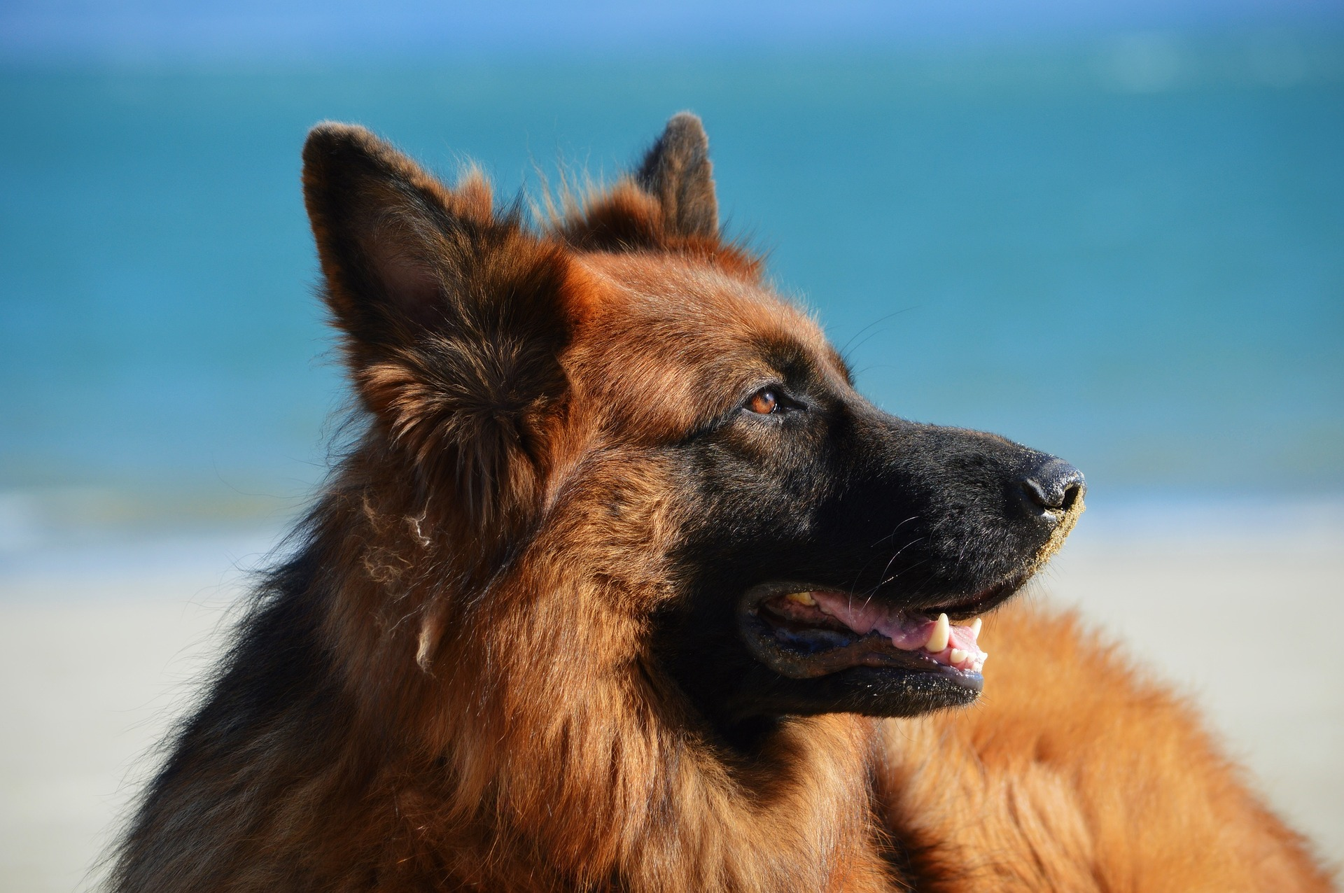 German Shepherd Names Top Best List Male Female Petshoper