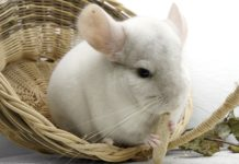 name for chinchilla