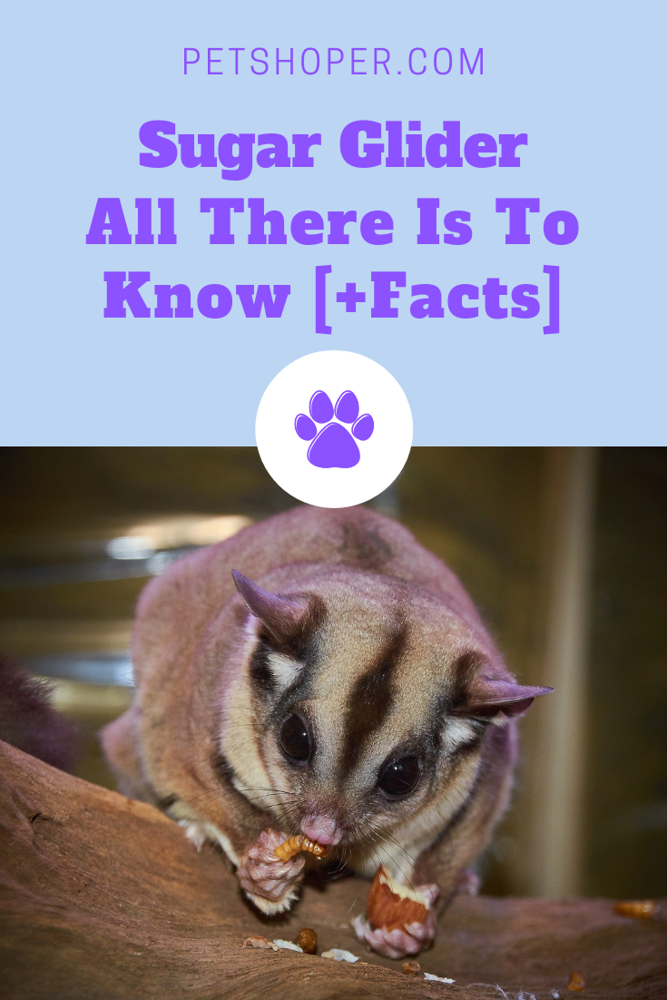 Sugar Glider - All There Is To Know [+Facts] | PetShoper