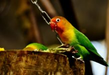 How To Teach A Lovebird To Talk