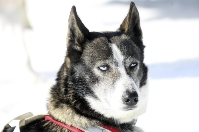 Why Do Huskies Look Like Wolves