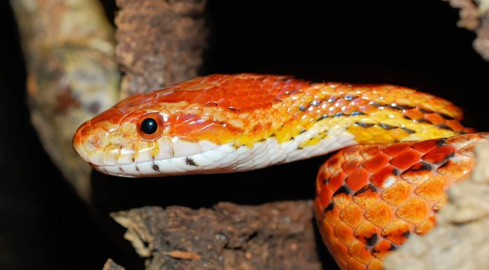 How Long Do Corn Snakes Live In Captivity
