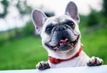 Best Harness For A French Bulldog