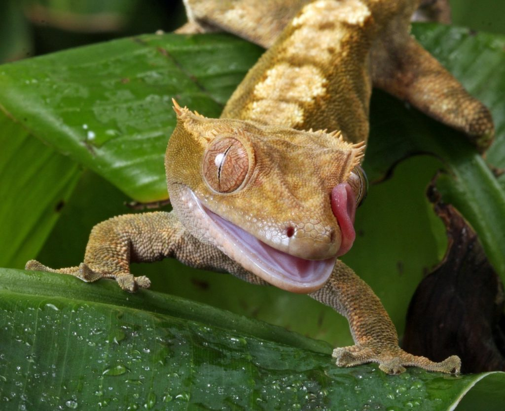 CRESTED GECKO-best lizard for pets