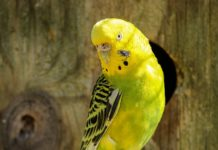How Long Do Parakeets Live on Average