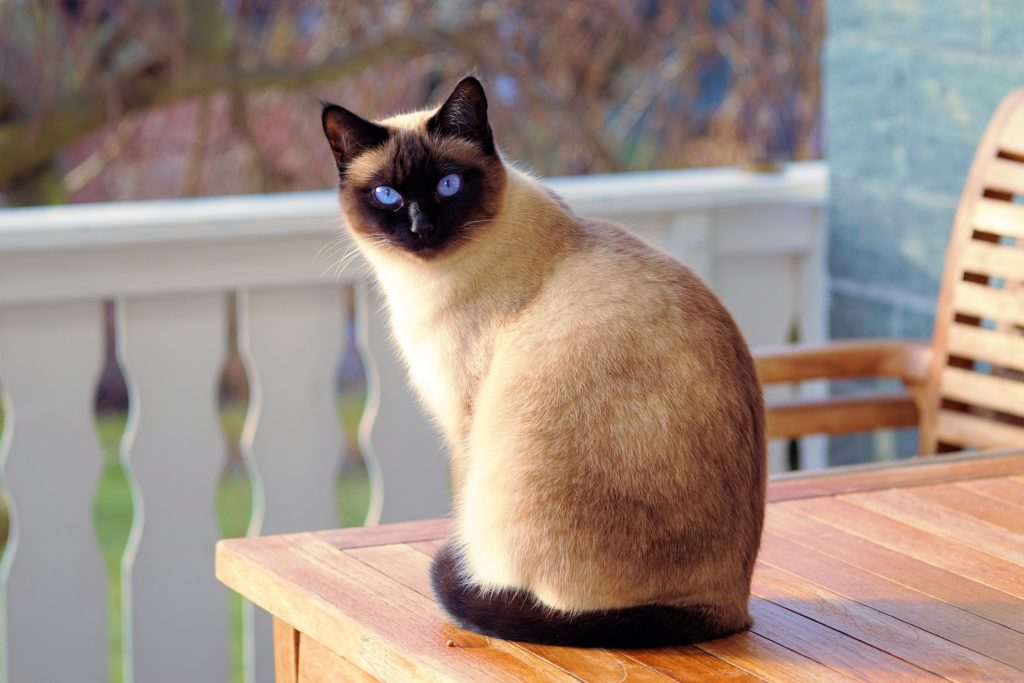 Popular Cats Breeds - The Siamese