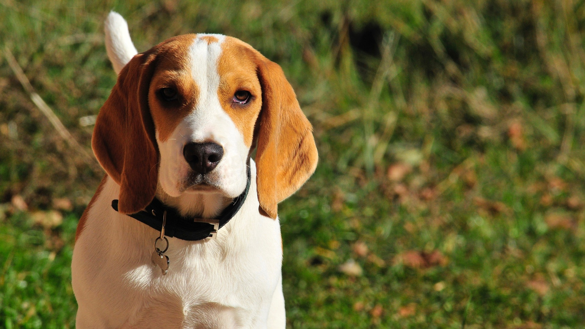 How Big Do Beagles Get? [+ Beagle Mixes And Their Sizes ...
