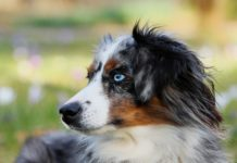 Badass Dog Names For Australian Shepherd