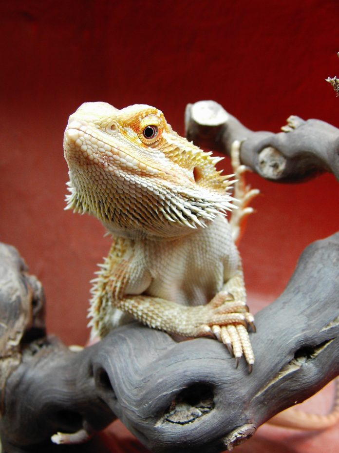 Bearded Dragon Bath Behavior