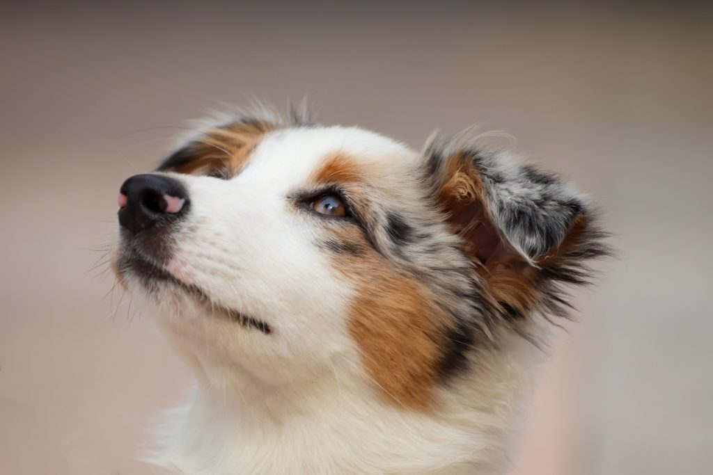 Unique Names For Australian Shepherd
