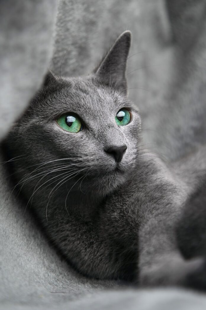 Do Russian Blue Cats Like Water