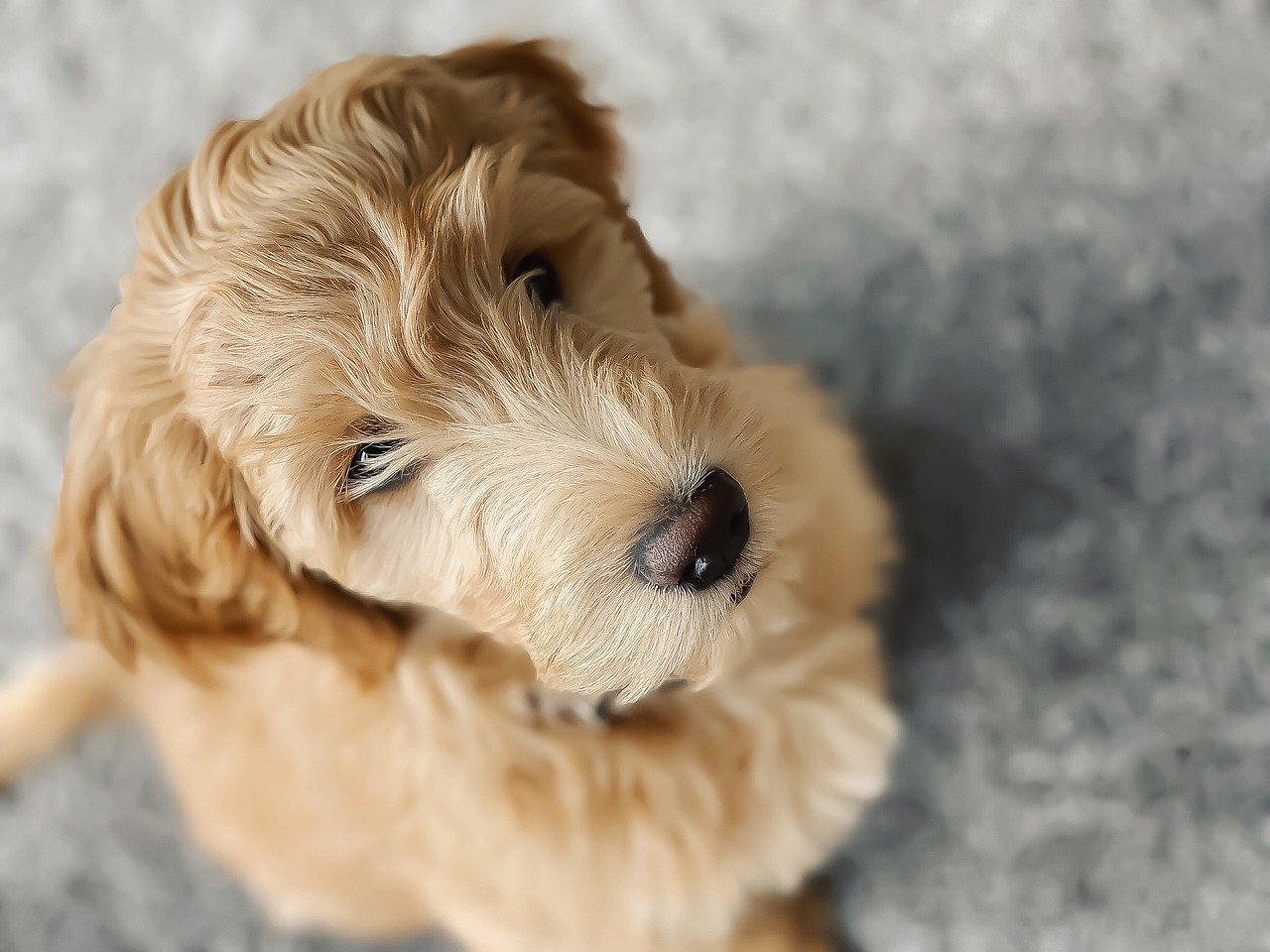 Goldendoodle Names 100 Cute Ideas Male Female Petshoper