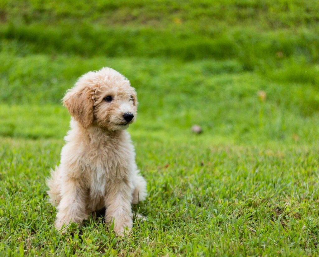 Goldendoodle Puppy Names