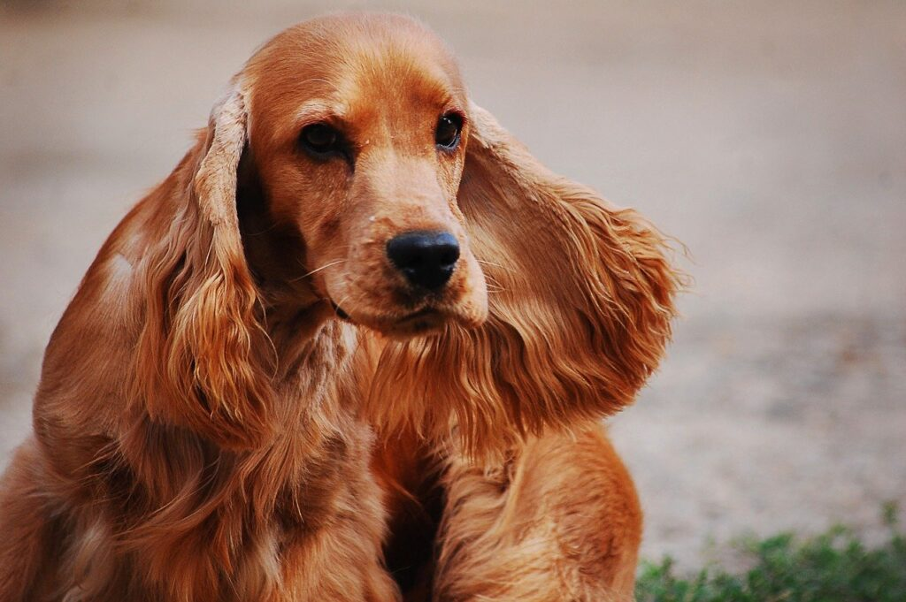 Why Do Cocker Spaniels Ears Stink