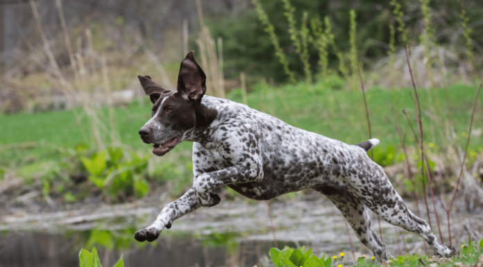 Hunting Dog Names For Pointers