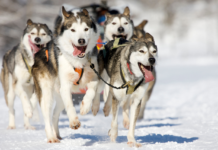 Siberian Husky Dog Names
