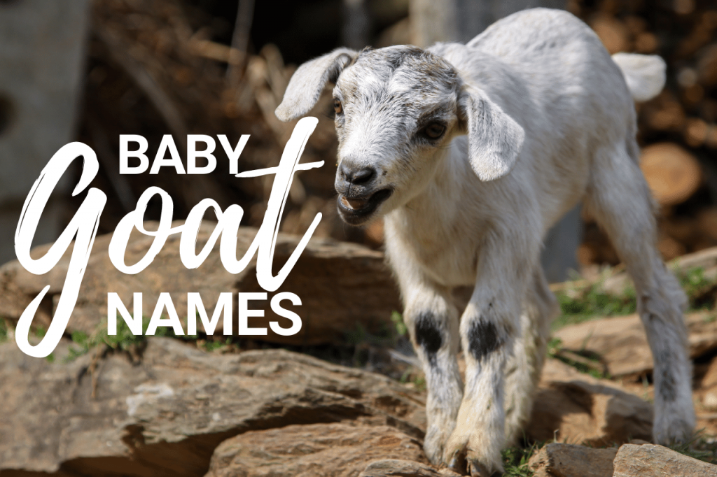 Baby Goat Names