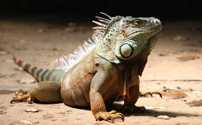 How big do iguanas get