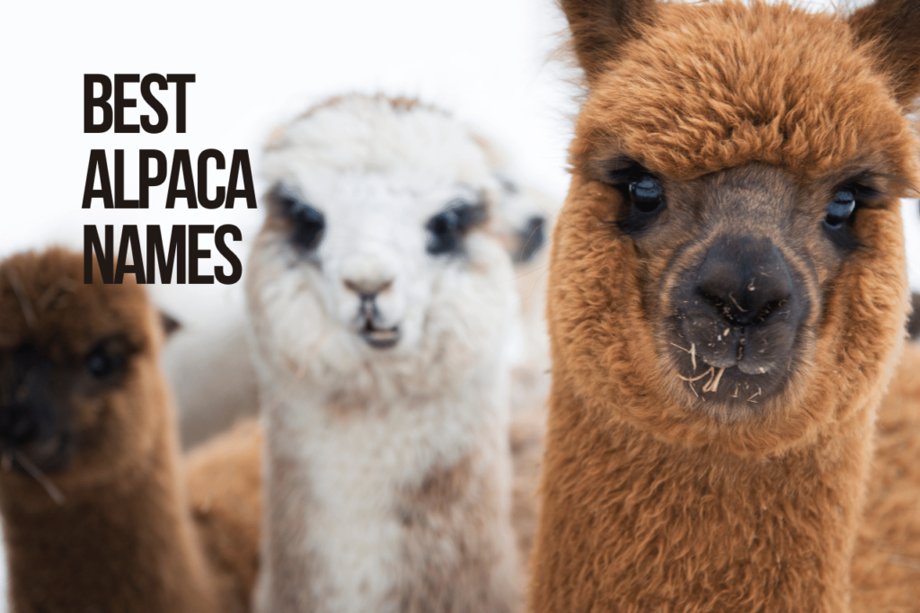 Best Alpaca Names