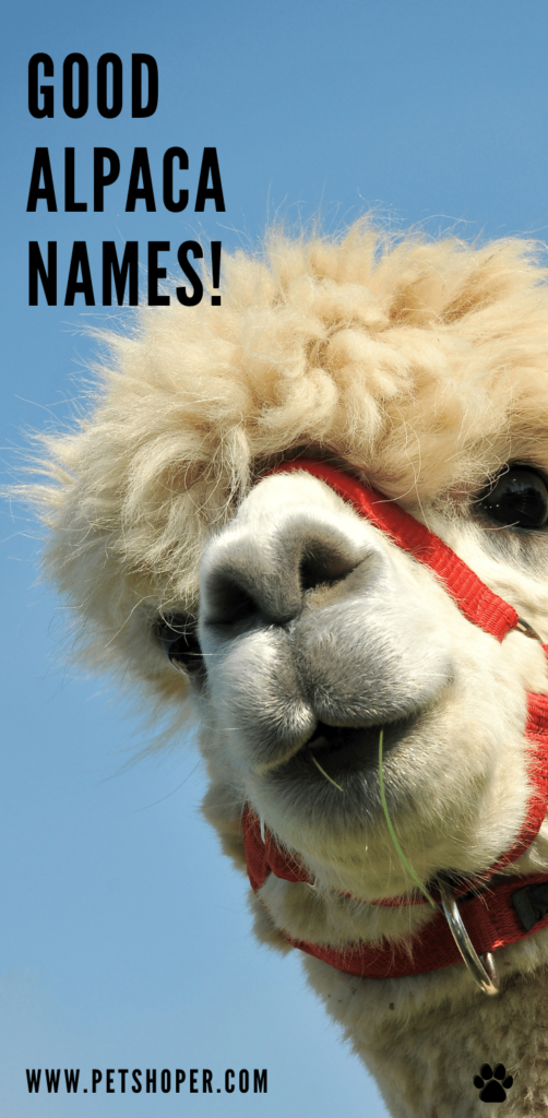 Good Alpaca Names pin