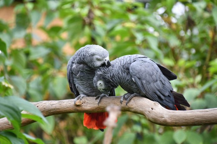 African Grey Parrot Names