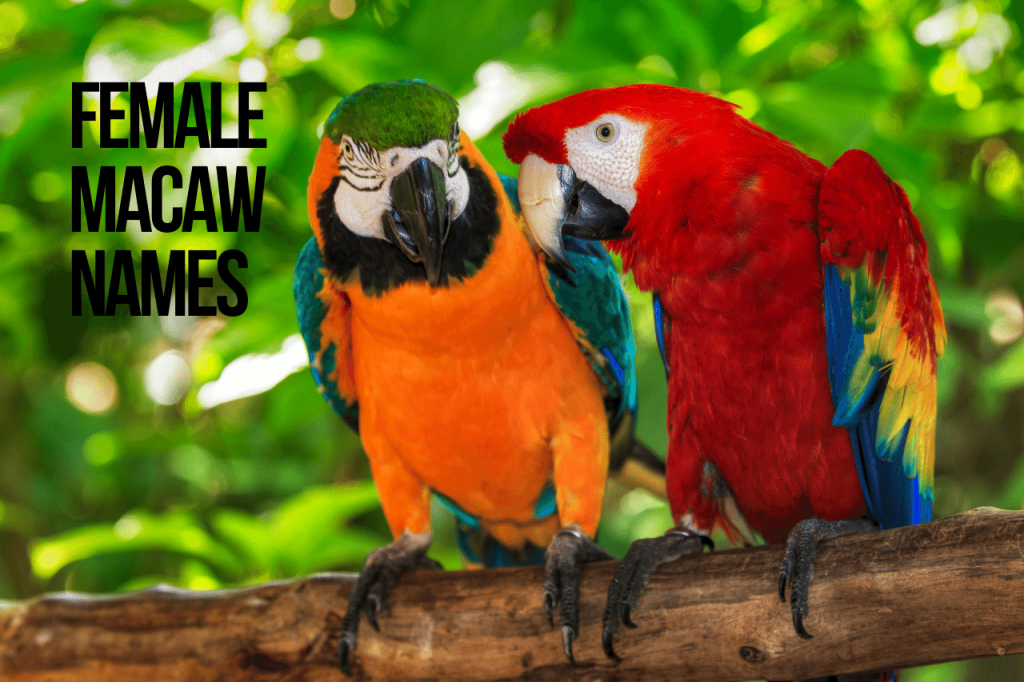 Female Macaw Names