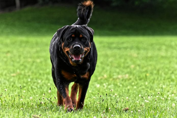 Most Muscular Dog Breeds In the World
