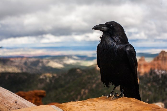 Ravens or Crows as Pets
